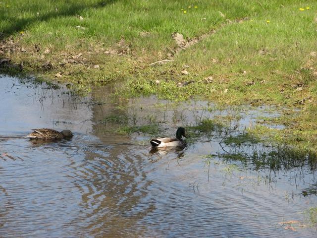 DucksCullenParkVernalPoolApril8-2012